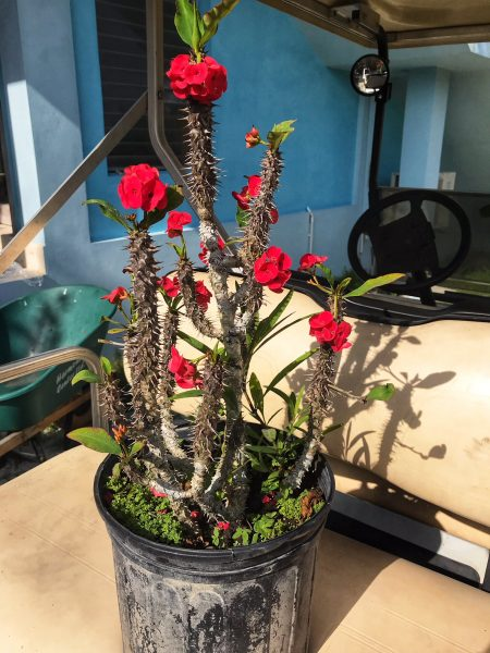 Crown of Thorns plant Red