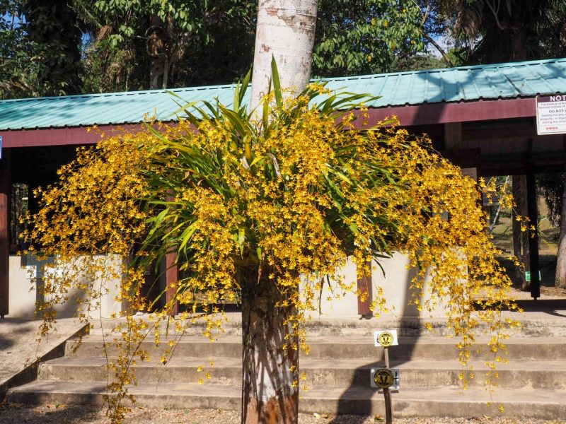 Golden Shower Orchid Cayo
